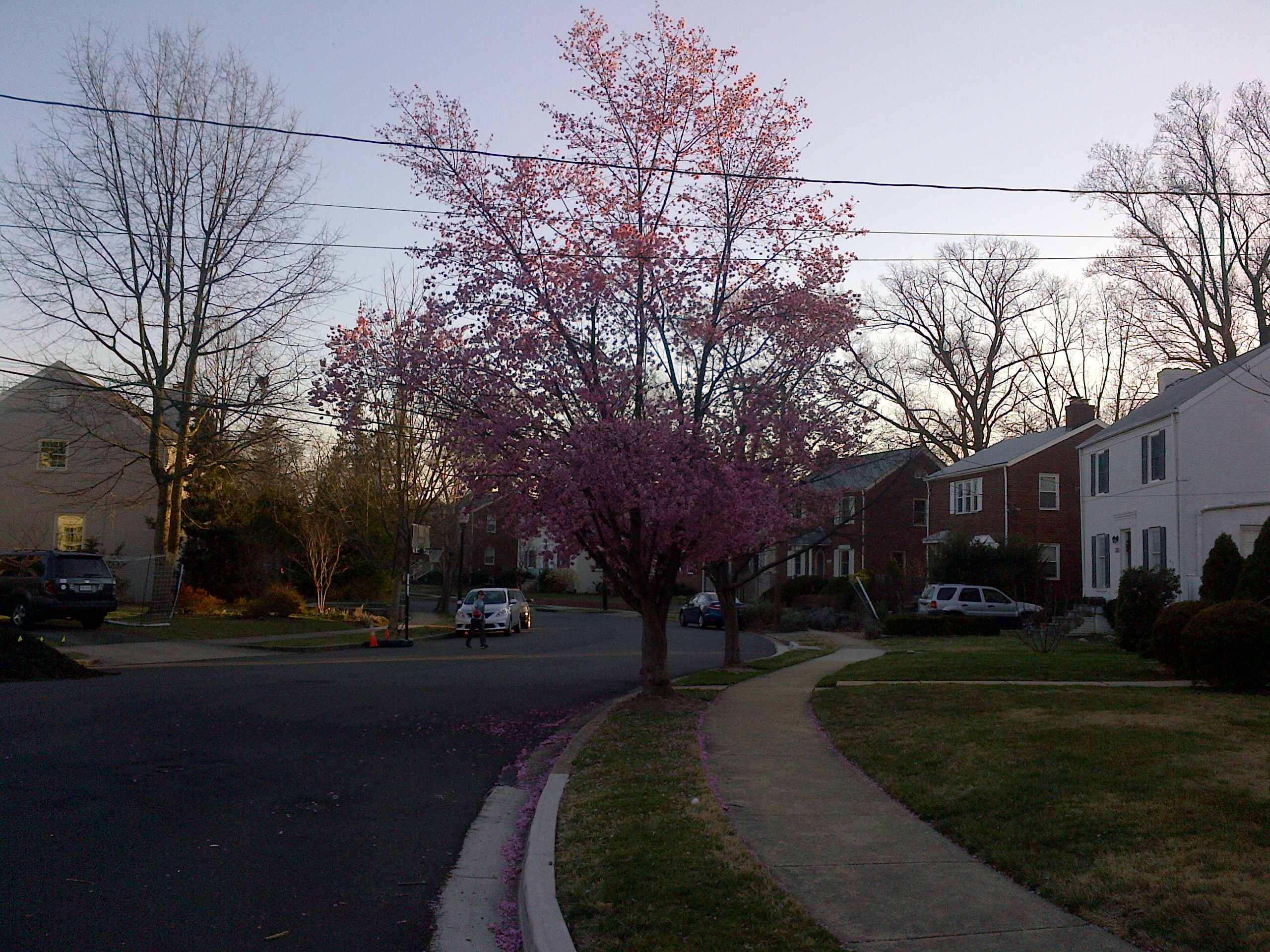 First Blooming Dogwood of Spring